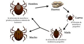 20140530001657-280px-life-cycle-of-ticks-family-ixodidae-es.png